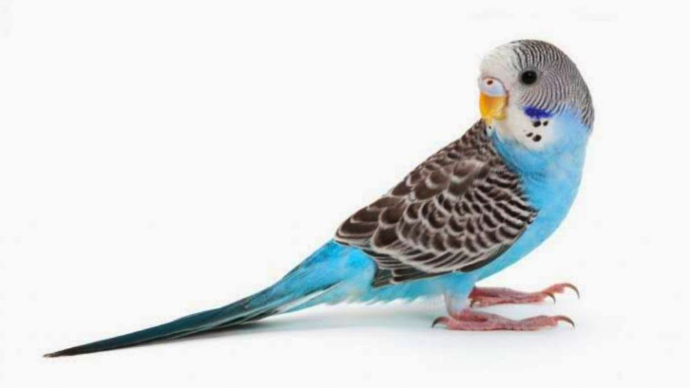 Budgie information in Hindi