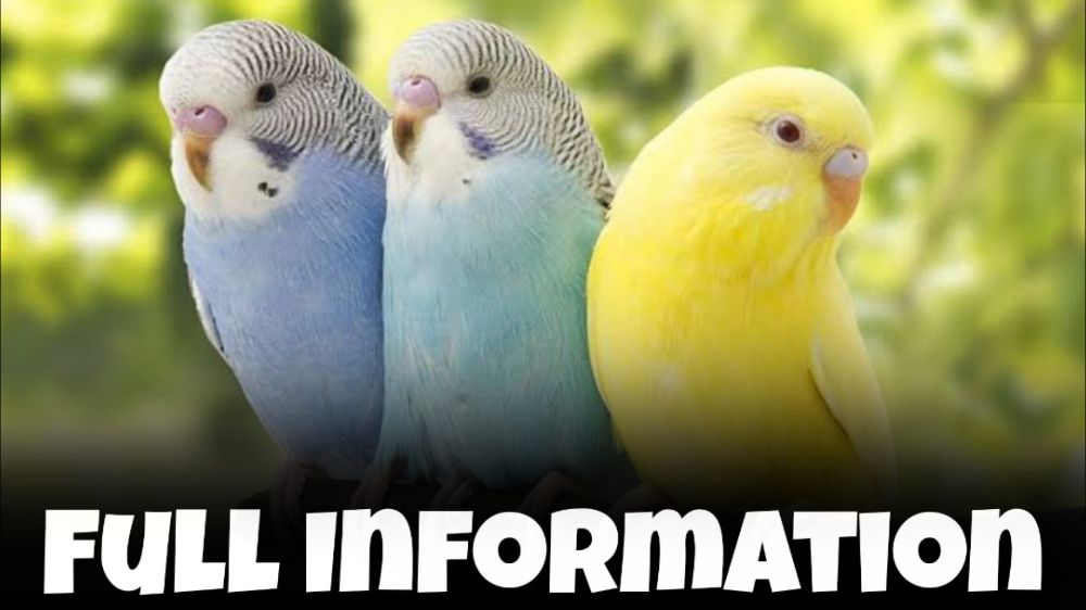 Budgie Bird Information In Hindi – (Parakeet)