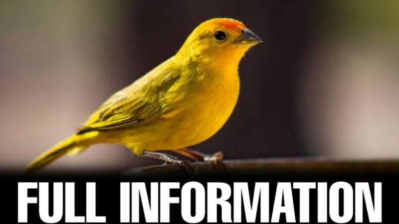 Canary Bird Information In Hindi – (Full Detail)